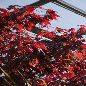 Acer Atropurpurea