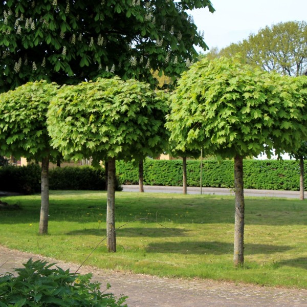 Acer Globosum