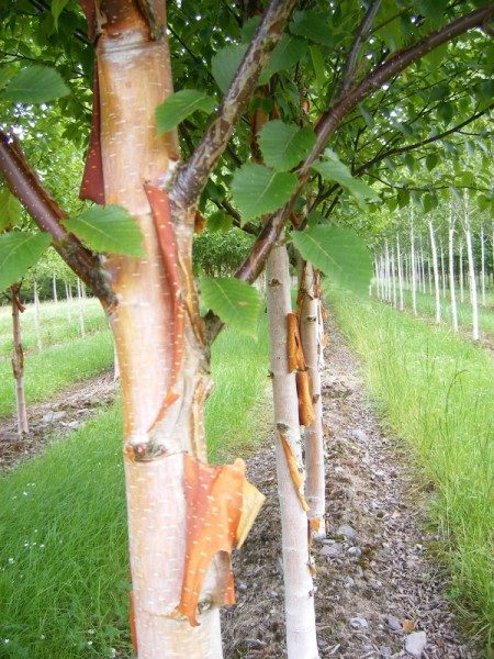 Betula Fascination