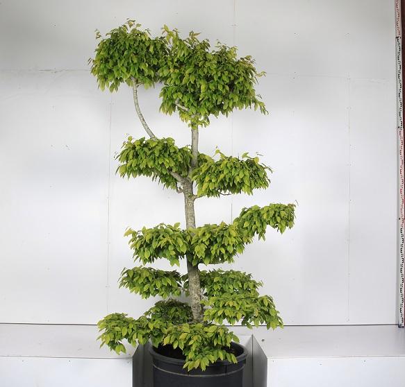 Carpinus betulus Tuscany form