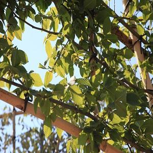Carpinus betulus espalier standard
