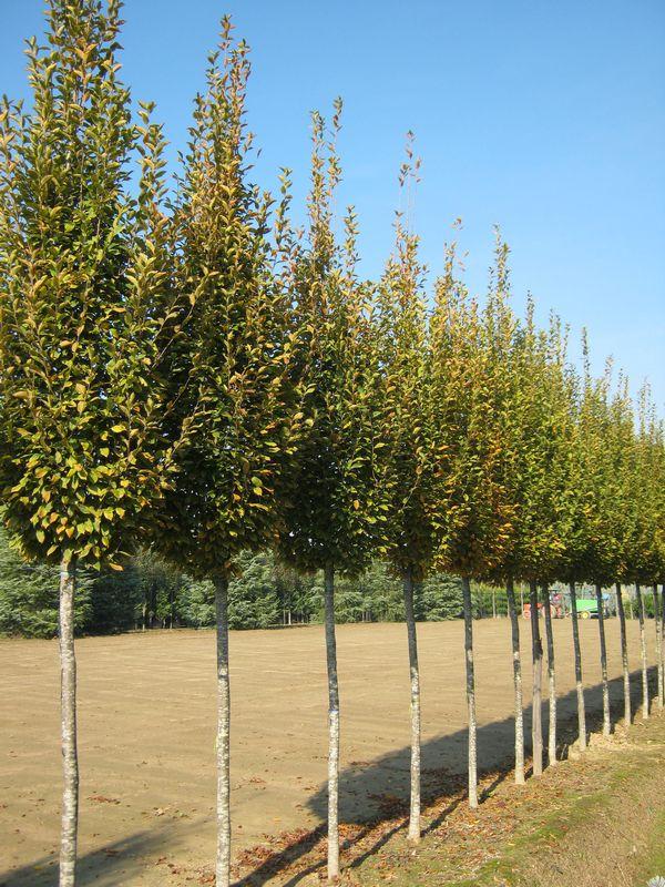 Carpinus betulus fastigiata std