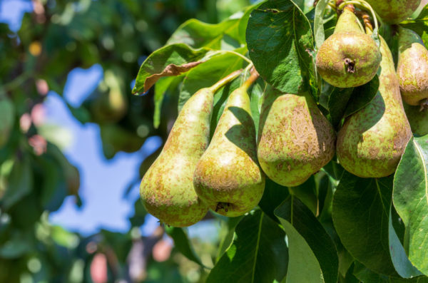 Lovely cluster of conference pears (Conference – Pyrus communis) ripening in pear tree (fruit tree). Sunny summer day Space to insert your text.