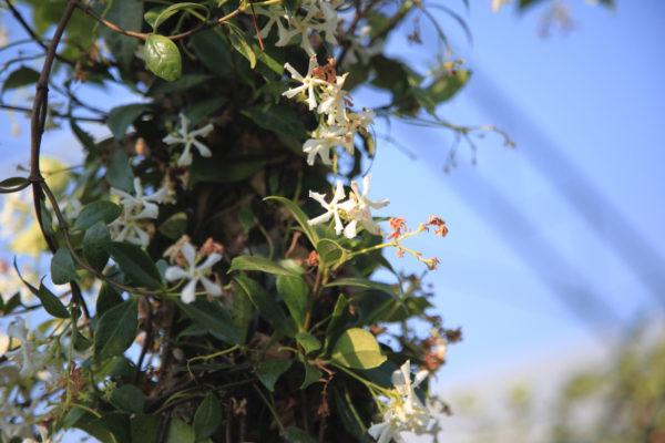 Evergreen Jasmin 3L
