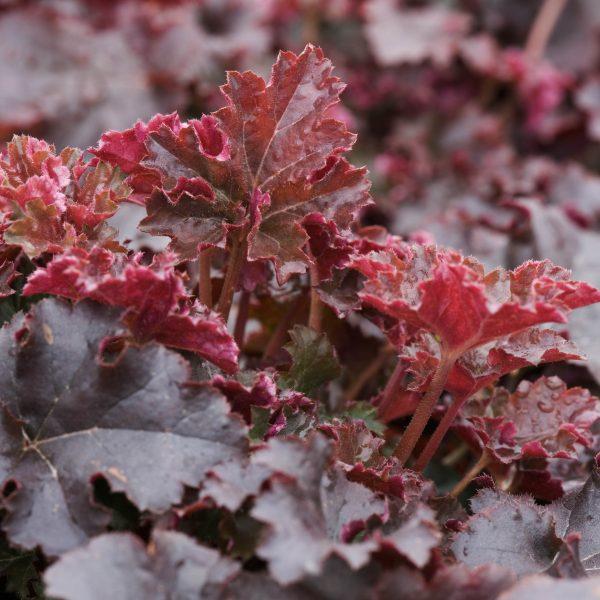 Heuchera 'Crimson Curls'.  Coral flower.