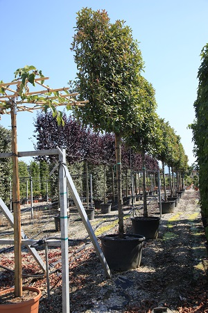 Phtonia Red Robin standard espalier