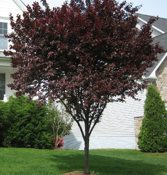 prunus cerasifera nigra purple plum caragh nurseries. Black Bedroom Furniture Sets. Home Design Ideas