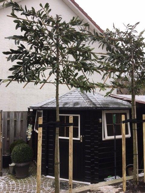 Prunus espalier
