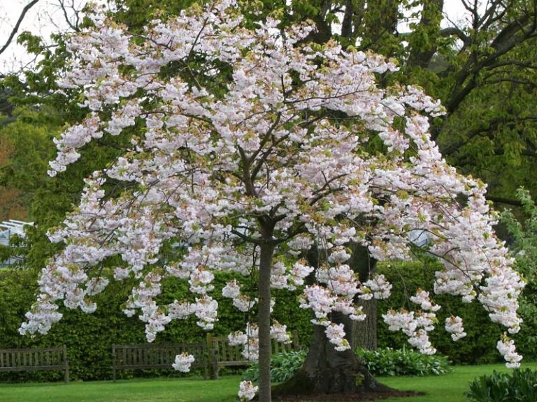Prunus oku Miyako
