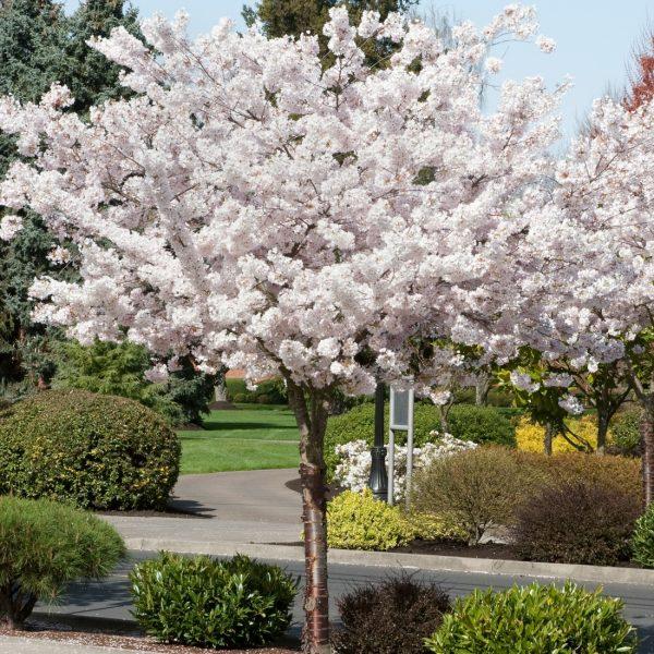 Prunus shorotae