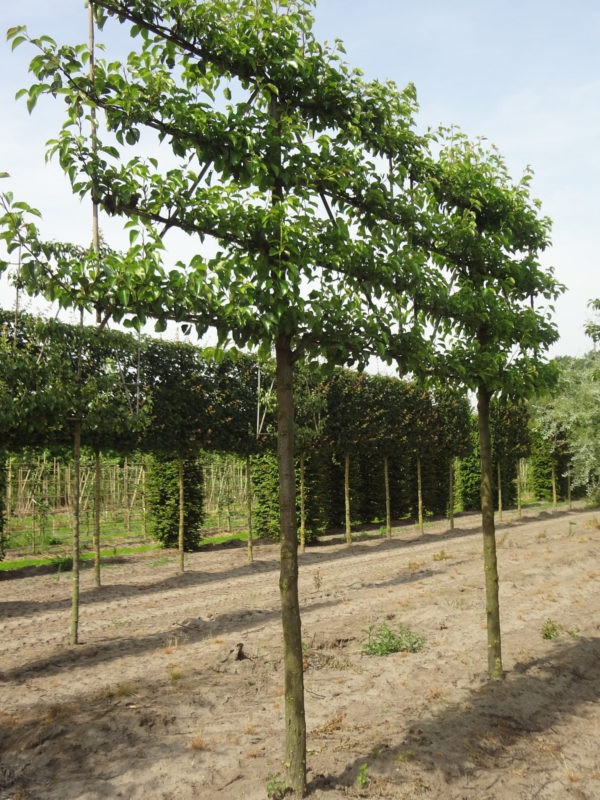Pyrus chant pleached