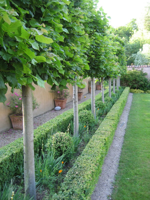 Pyrus pleached