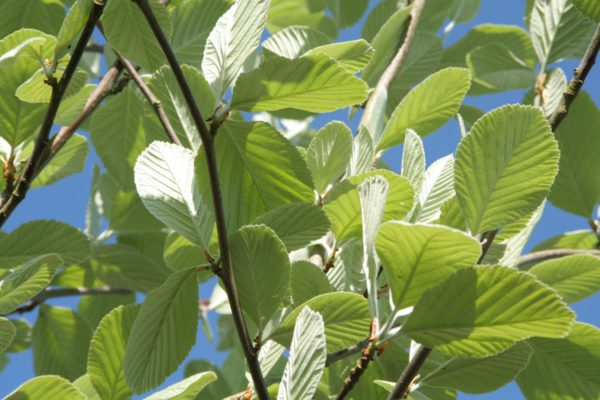 Sorbus-aria-Lutescens