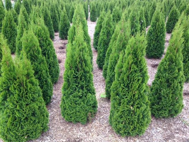 thuja emerald caragh nurseries