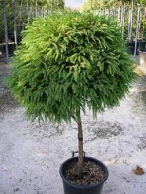 cryptomeria-japonica-globosa-nana