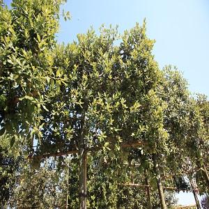Quercus ilex esp