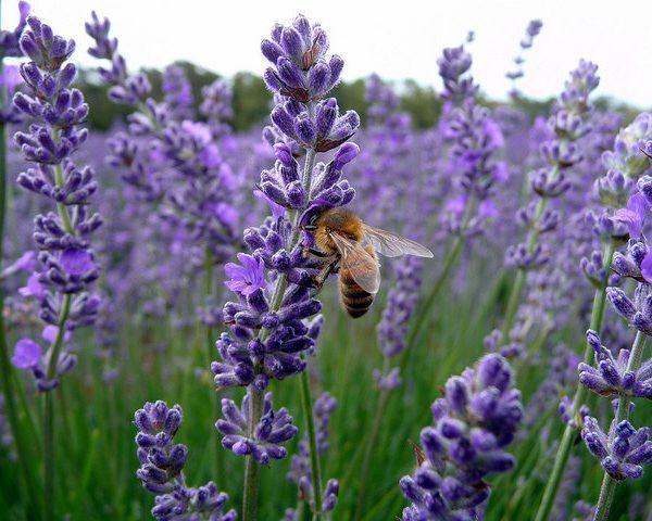 lavender provence blue