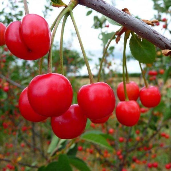 morello-cherry-tree