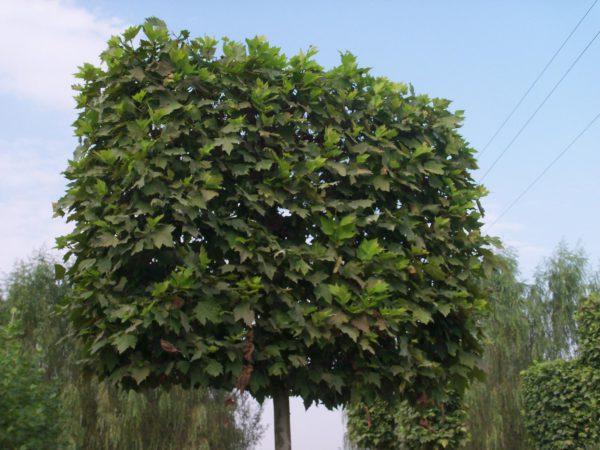 platanus acerfolia espalier