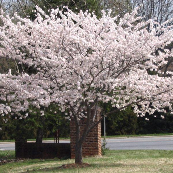 prunus Yoshino