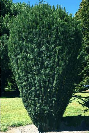 upright japanese plum yew