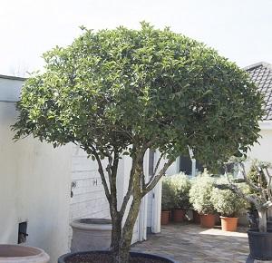 Osmanthus aquafolium