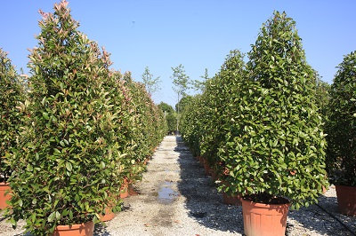 Photinia Red Robin cone