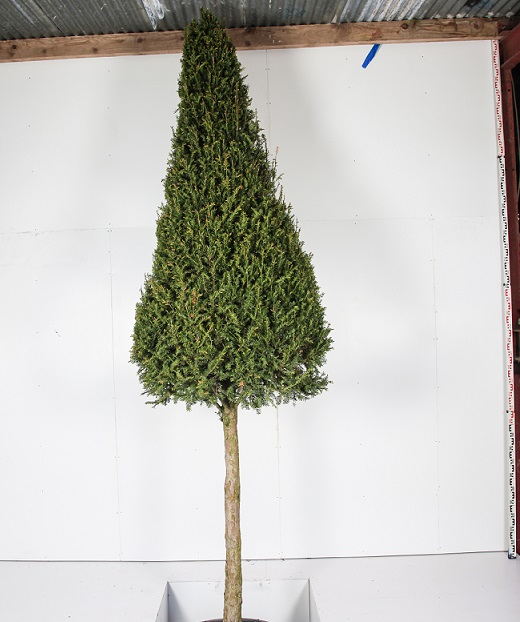Taxus cone