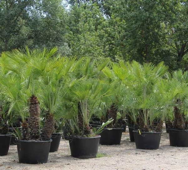 chamaerops humilis mediterranean fan palm caragh nurseries. Black Bedroom Furniture Sets. Home Design Ideas