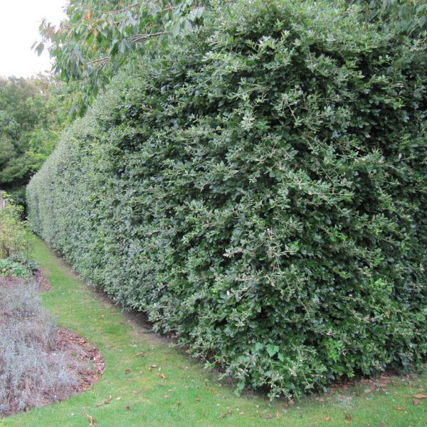 Evergreen-Oak-Hedge