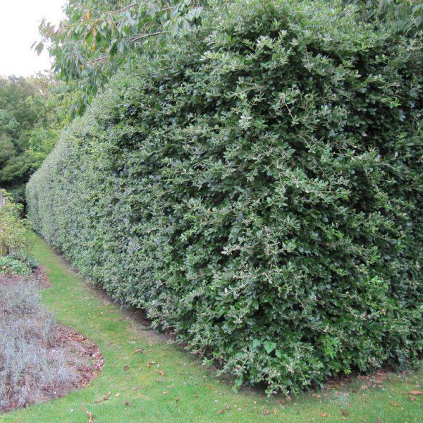 Evergreen Oak Hedge