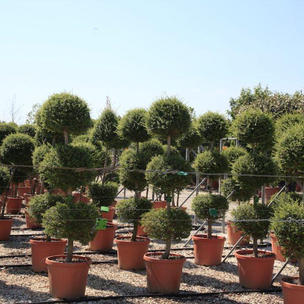 3 ball topiary