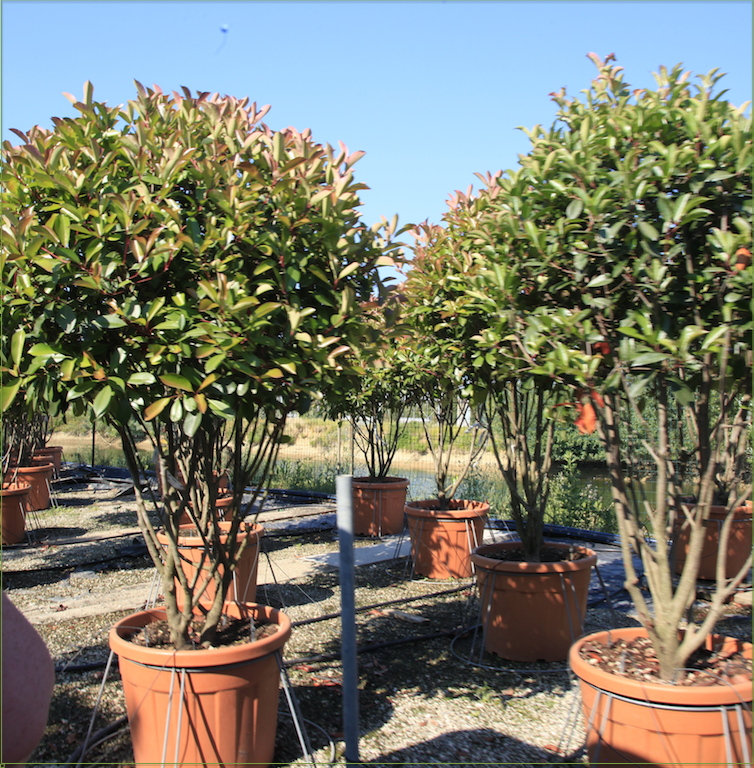 Photinia REd Robin Parachute
