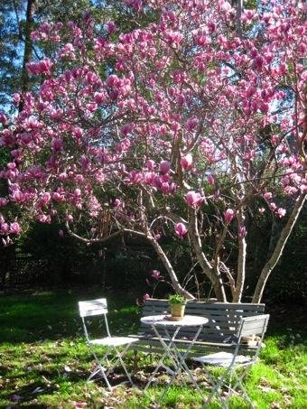Magnolia Galaxy Multistem