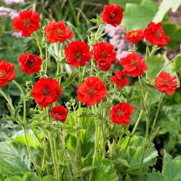 Geum Mrs Winder