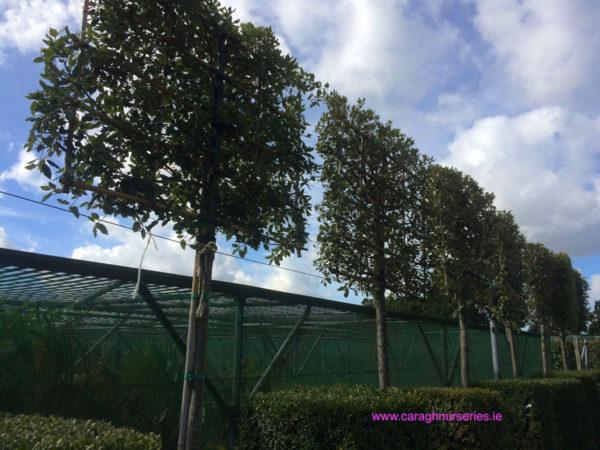 Quercus ilex espalier
