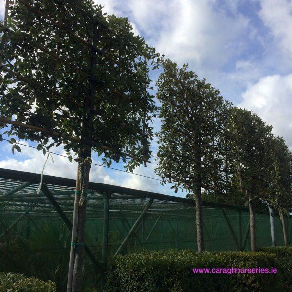 Quercus Ilex Espalier Standard Caragh Nurseries