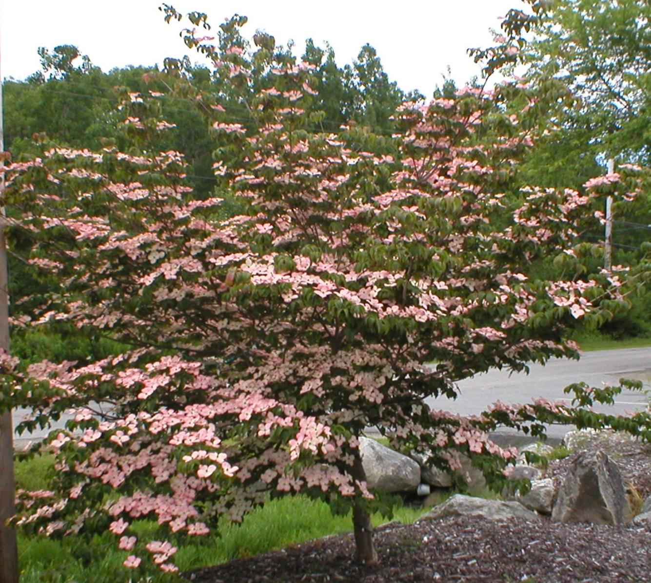 Cornus Stellar Pink Caragh Nurseries