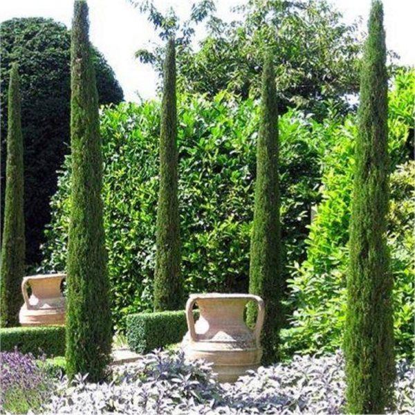 cupressus sempervirens totem caragh nurseries. Black Bedroom Furniture Sets. Home Design Ideas
