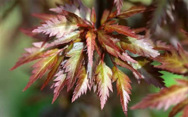 Acer Beni-Hagoromo-Japanese-Maple