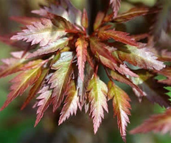 Acer Beni-Hagoromo-Japanese-Maple