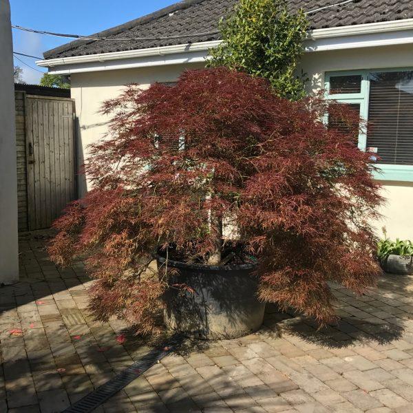 Acer Ornatum