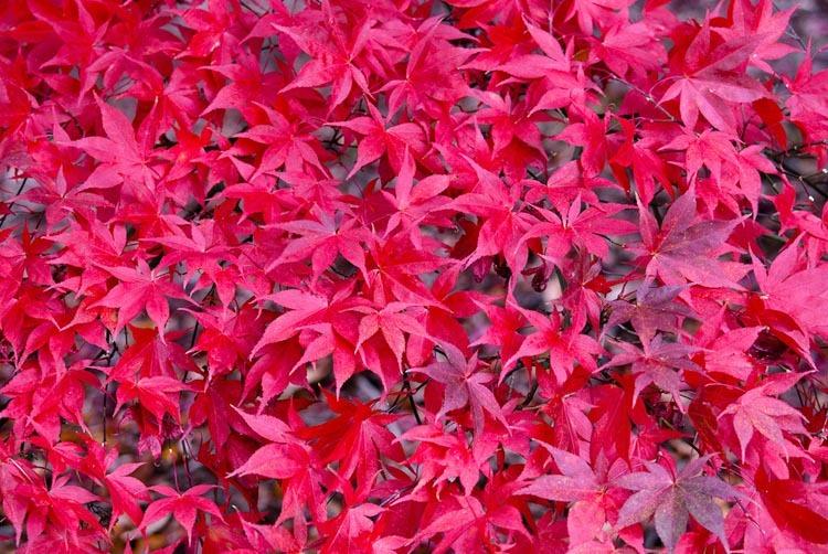 Acer Osakazuki Japanese Maple Caragh Nurseries