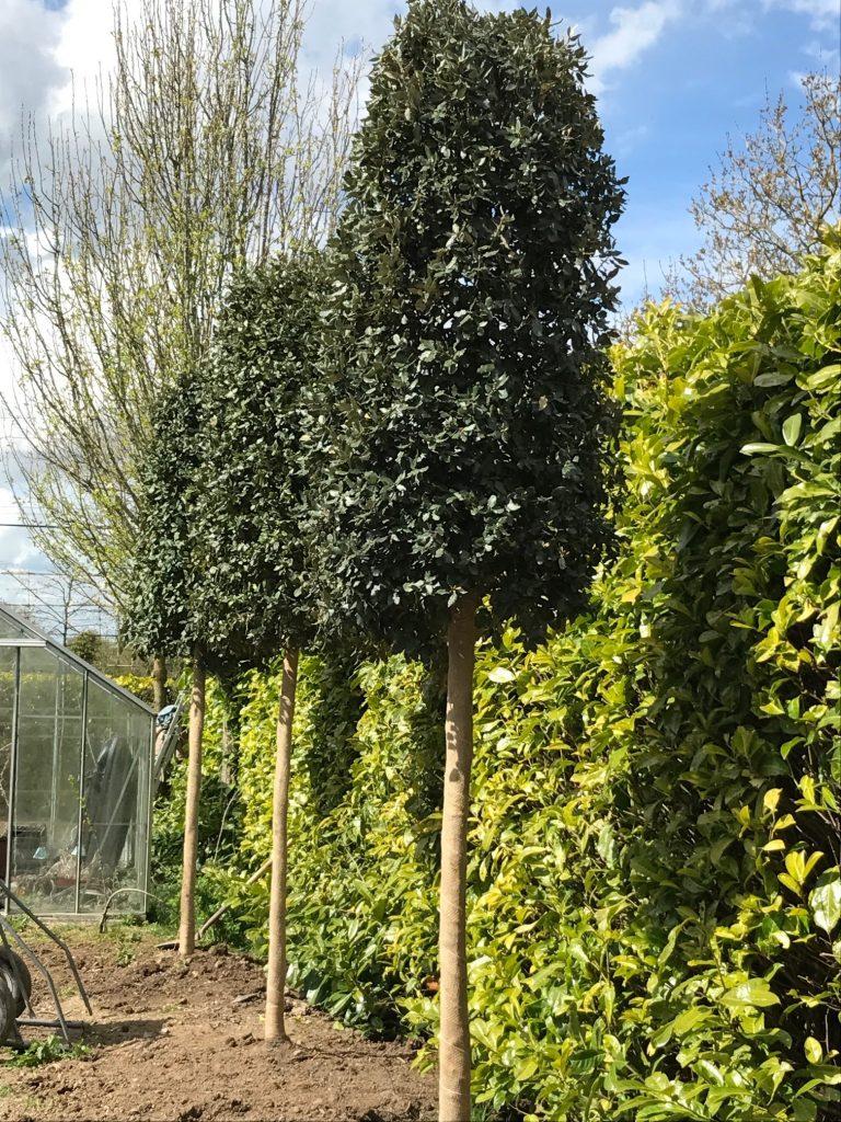 Evergreen Oak