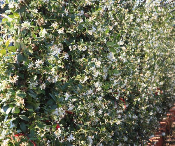 Evergreen Jasmine Hedge