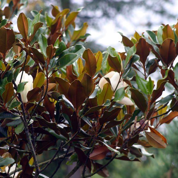 Magnolia grandiflora Nana