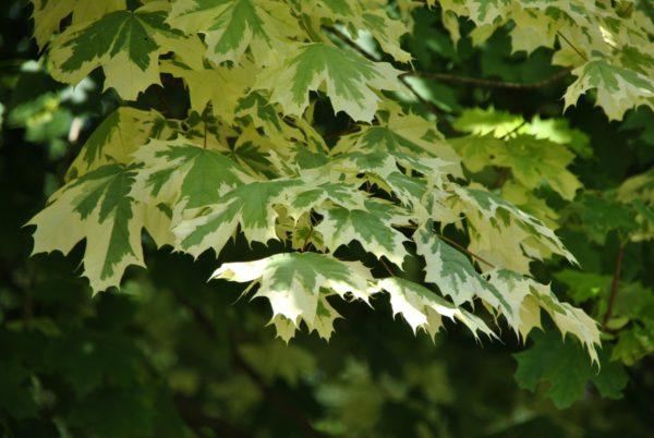 Acer drumondii