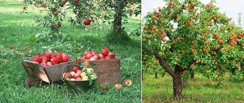 Fruit Trees To Prune Or Not To Prune Caragh Nurseries