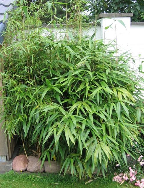 Bamboo Metake