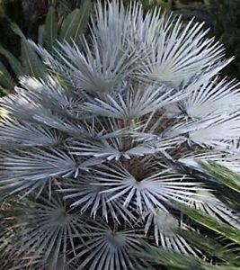 Chamaerops humilis cerifera